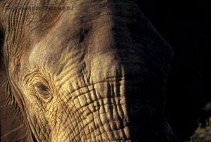 c95-elefante_c.jpg
